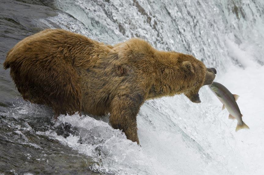 Ursus Bear Habitat Encounter