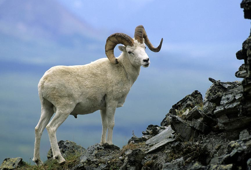 Dall sheep photo safari