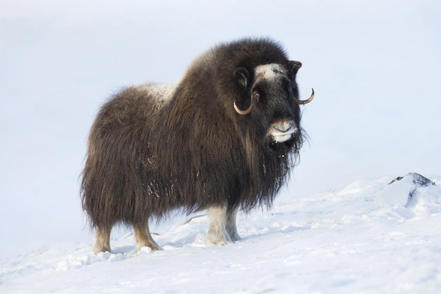 Visit an Alaskan Musk Ox Farm