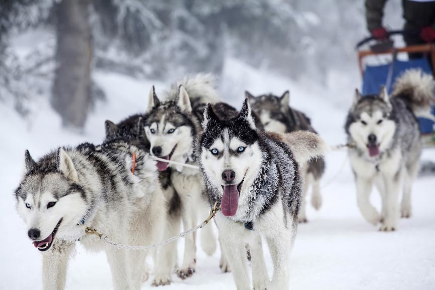 Experience the thrill of the Iditarod with an Alaska dog sledding adventure through Alaska Adventure Unlimited!