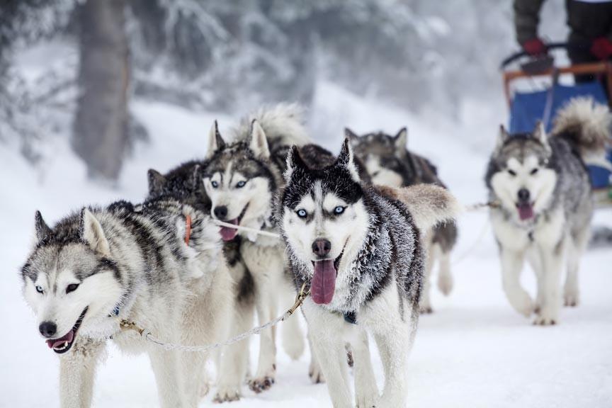 Experience the thrill of the Iditarod with an Alaska dog sledding adventure through Alaska Adventure Unlimited!